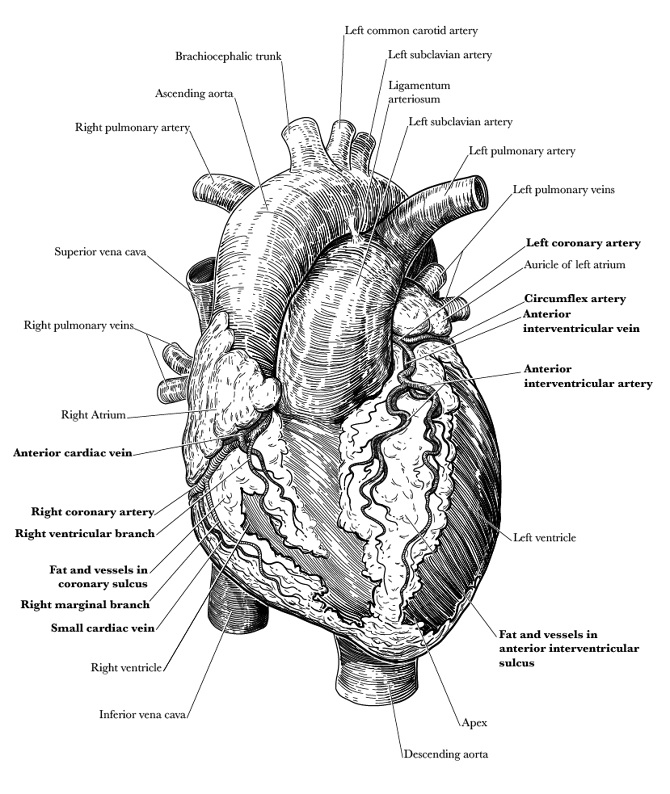 Anatomical Heart Illustration - mattcrotts.com - Personal network